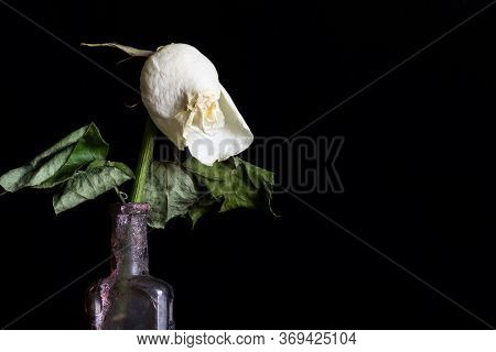 Withered And Faded Rose In An Old Dirty Vintage Bottle On Black Background. Copy Space