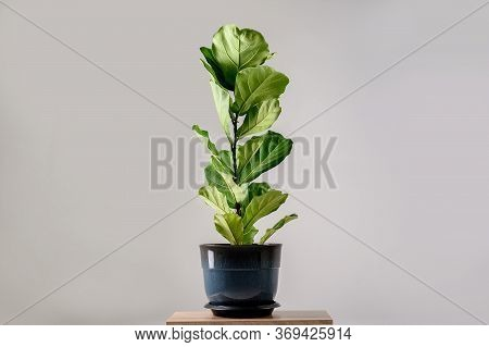 Fiddle Leaf Fig Tree Isolated On Gray Background.