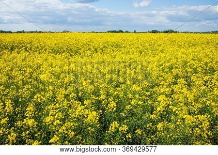 Closeup Shot Of Yellow Rapeseed Field Under The Blue Sky