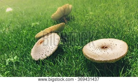 Fairy Ring Mushrooms Growing On Green Grass Field