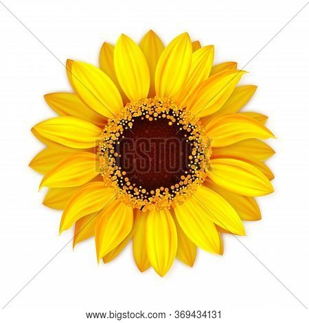 Sunflower Blooming Botanical Nature Flower Vector. Blossom Sunflower With Seeds And Petals, Seasonal