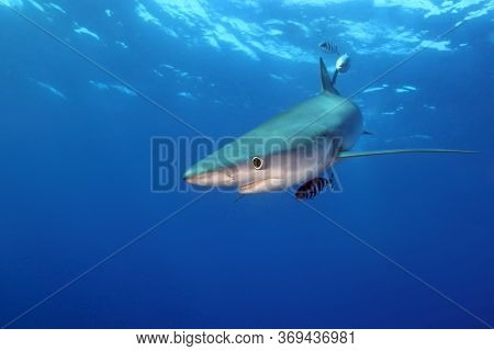 The Blue Shark (prionace Glauca) In The Ocean Blue.great Blue Shark In The Open Ocean.