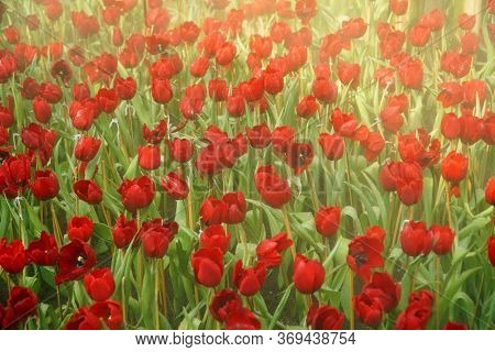 Tulips That Are Red Amid Refreshing Steam, Amazing Fresh Tulips That Bloom In The Garden, Beautiful