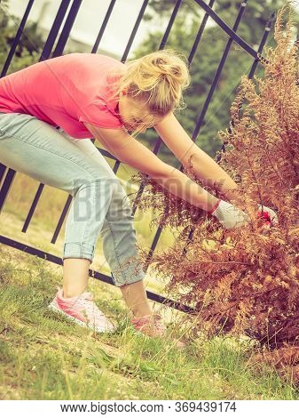 Woman Gardener Removing And Pulling Withered Dried Thuja Tree From Her Backyard. Hard Yard Work Arou