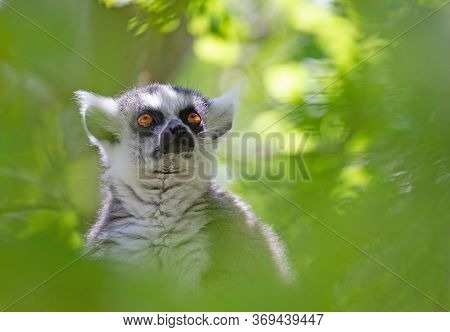 Ring Tailed Lemur (lemur Catta) Sitting In A Tree