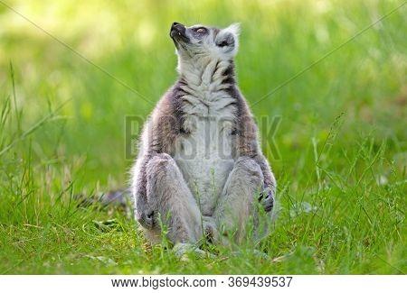 Ring Tailed Lemur (lemur Catta) Sitting On The Ground