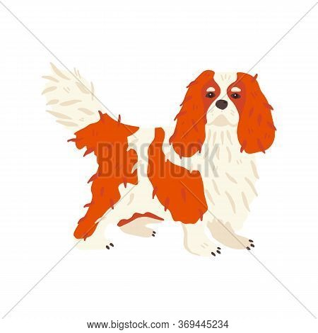 Cavalier King Charles Spaniel. Pet Flat Vector Illustration. Cute Small Dog Breed With Red And White