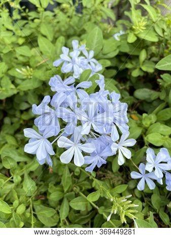 Close Up Plumbago Auriculata Flower In Nature Garden