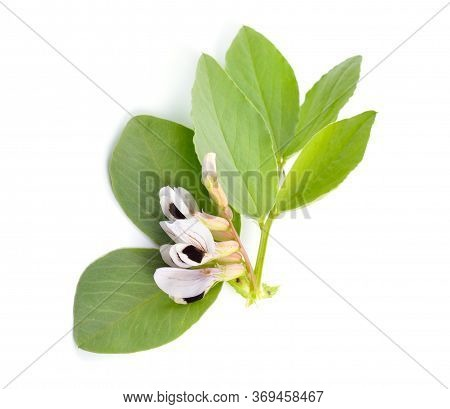 Vicia Faba Broad Bean, Fava Bean, Or Faba Bean, Cover Crop Horse Bean. Flowers Isolated