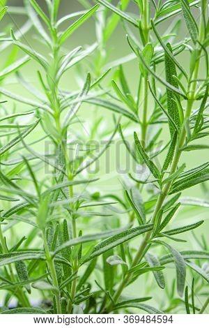 Fresh Rosemary Herb Grow Outdoor. Rosemary Leaves
