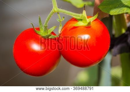 A Ripening Tomatoes Growing In The Garden.