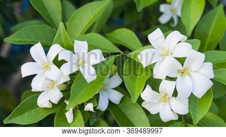 Prettyl White Fresh Pitals Of Orange Jessamine On Green Leaf Background, Tropical Plant In Other Nam