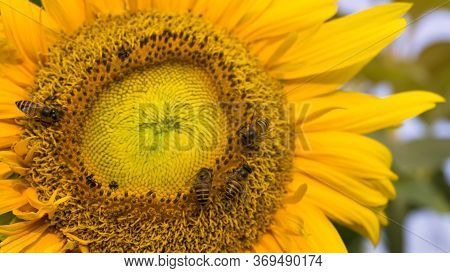 Pretty Yellow Petals Cover Around Beautiful Sunflower And The Bees Are Taking Sweet Nectar Sugar Fro