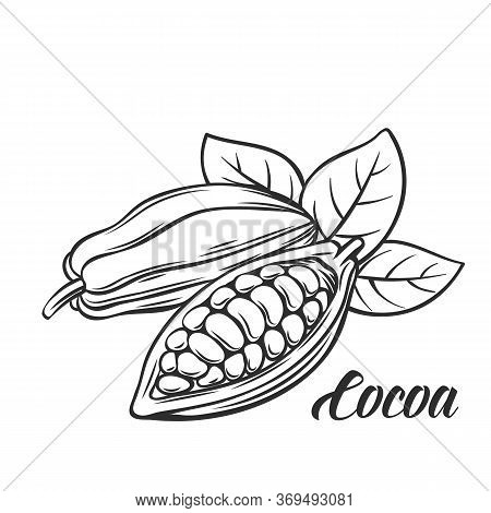 Hand Drawn Cocoa Bean. Vector Outline Cocoa Bean In The Old Ink Style. Cocoa Icon For Brochures, Ban