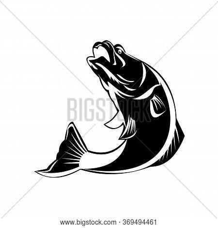 Black And White Illustration Of A Jumping Largemouth Bass, Barramundi Or Asian Sea Bass (lates Calca