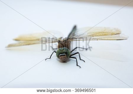 Darners Aeshnidae . Southern Hawker Dragonfly Blue Darner On White Background . Aeshna Cyanea . Blue