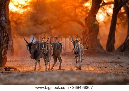 The Common Eland, Also Known As The Southern Eland Or Eland Antelope With Back Light With Sunset In