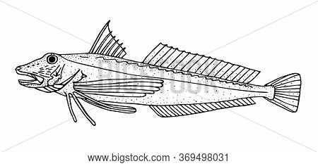 Tub Gurnard. Black Hand Drawn Realistic Outline Vector Image.