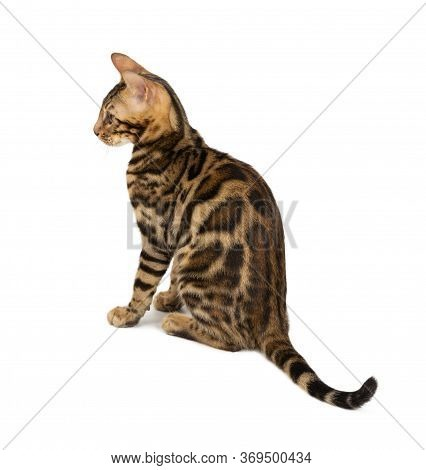 Beautiful 4 Month Old Bengal Kitten With Large Rosettes And Clean Background Isolated On White Backg