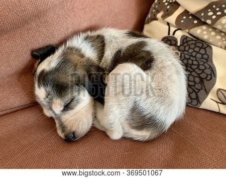 Little Dog Sleeping On Sofa Bagle Hound Beagle And Basset Hound Mix