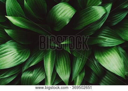 Creative Layout Made Of Green Hosta Leaves. Flat Lay. Nature Background Image. Hosta - Plant For Lan