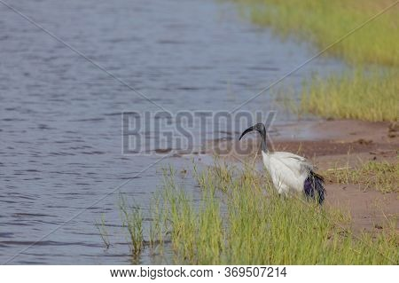 A Lone Sacred Ibis Stands At The Edge Of The Chobe River In Botswana.