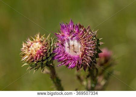 Milk Thistle. Blessed Thistle Flowers, Close-up. Silybum Marianum Herbal Medicine, Thistle Of Saint