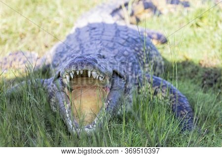 A Nile Crocodile Opens Its Jaws To Regular Its Temperature. Its Lack Of A Tongue Is Clearly Visible.