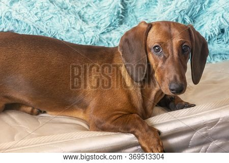 A Brown Dachshund Lies On The Bed With Its Paw Down. The Red Dachshund Is Carefully Looking At The C