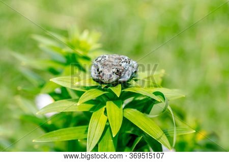 Dumpy Frogs Sitting On A Flower. Amphibian On A Flower. Green Background Blues Bokehbeautiful Summer
