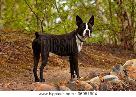 boston terrier on the trail