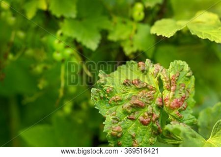 Disease Of Red And White Currants, Infection With Gallic Aphids Anthracnose. Brown Blisters On Green