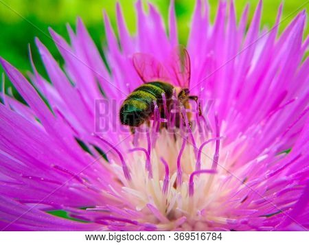 A Bee Collects Nectar On A Flowering Purple Cornflower. Yellow-black Striped Bee On A Flower Close-u