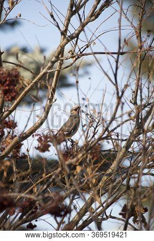 Bird Watchers Enjoy A Flock Of Colorful Bohemian Waxwing Birds Migrating Through The Urban Metropoli
