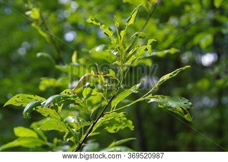 Tree Leaves Gnawed By Pests. Leaky Green Plants In The Forest. Attack Of Pests On The Natural Enviro