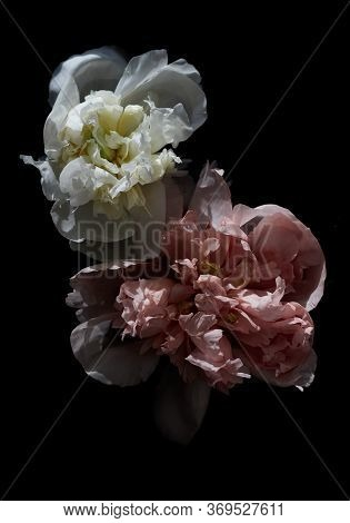 Pink And White Piones In Bloom On A Dark Background In Hard Light