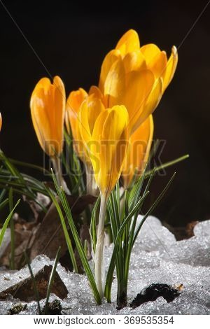 Colorful Yellow Crocus Flower Blooming In The Garden. The Snow Hasn't Melted Yet. Some Crocuses.
