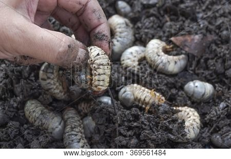 Beetle Larvae (grub) Are Soft- Bodied, Soil-dwelling Insects With A Light Brown Head. A Man Picks Up