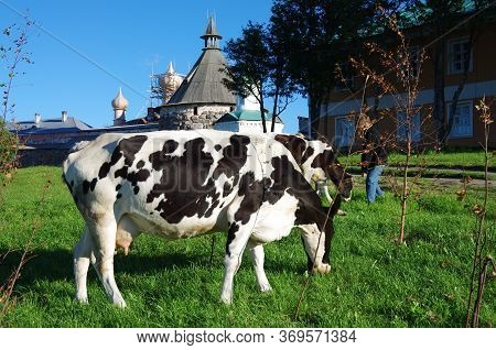 Solovki, Republic Of Karelia, Russia - August, 2017: The Cow Near The Solovetskiy Monastery