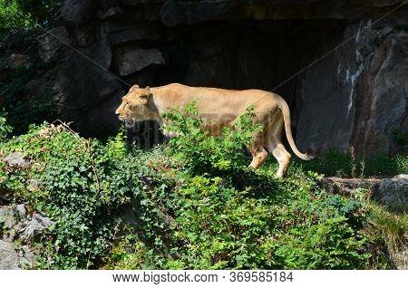 Asiatic Lion Male In The Zoo, Frankfurt Am Main