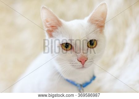 Portrait Of A White Cat With Yellow Eyes And With A Blue Collar.