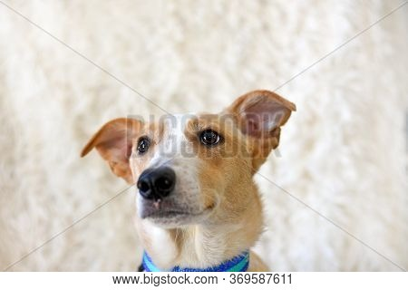 Portrait Of A Red Dog In A Blue Collar On A Light Background.