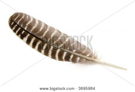 A Wild Turkey feather isolated on white. poster