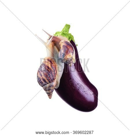 Snails Are Kissing.fresh Vegetables Without Pesticides.snails And Eggplant On A White Background. Co