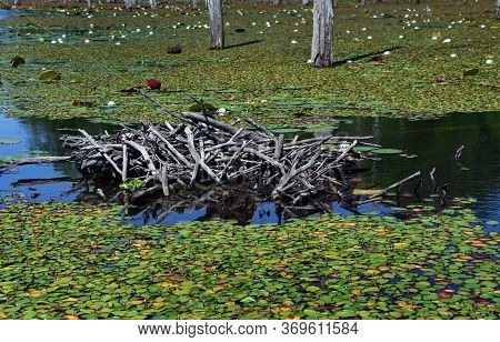 Lily Pads Surround A Beaver Lodge On A Lake In South Arkansas.  Sticks And Logs Reflect In Still Wat