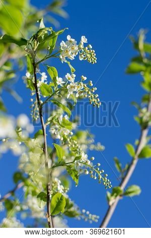 Blooming Bird Cherry Branches Against The Blue Sky. Beautiful Nature Scene With Blooming Trees And S
