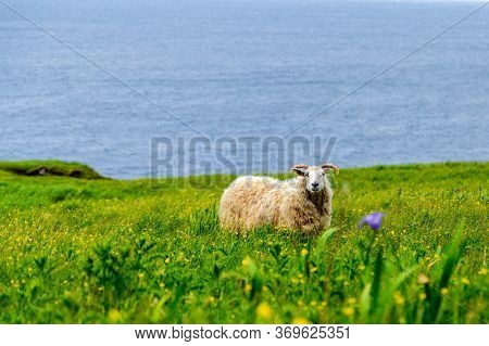 Sheep In A Grassy Field With The Gulf Of St Lawrence In The Background, Green Gardens Trail, Gros Mo
