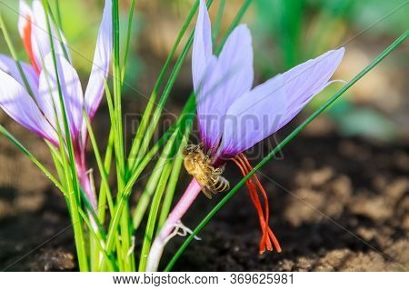 Bee Collects Nectar From Saffron Flower. Saffron Flowers On A Saffron Field During Flowering.