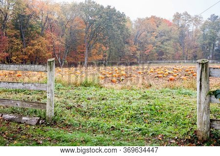 Field Of Ready To Pick Pumkins Through Wooden Fence On Misty Damp Autumn Day In New England.