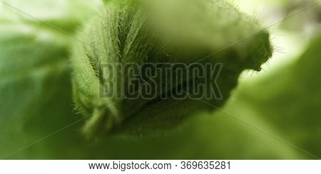 Macro Green Leaf And Flower Bud. Nature Minimalistic Banner Background With Copyspace. Stock Photo.